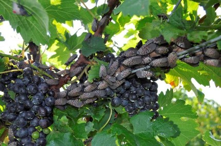 A swarm of dozens of spotted lanternfly adults on a grapevine.