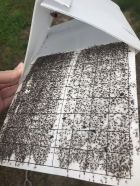 A white delta trap with a white sticky liner covered in thousands of small, dark adult midges.