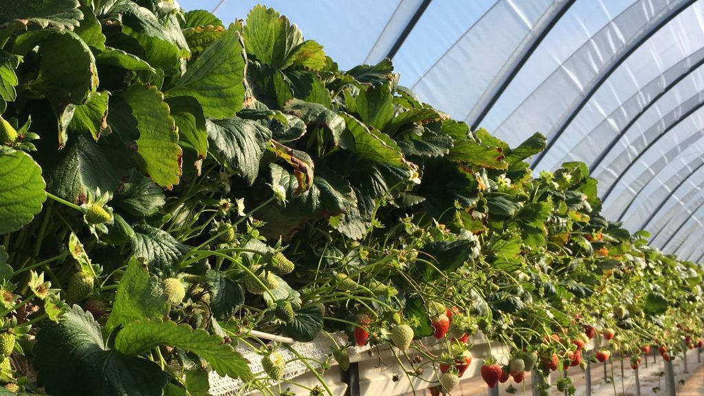 Strawberries grown under tunnels in raised troughs