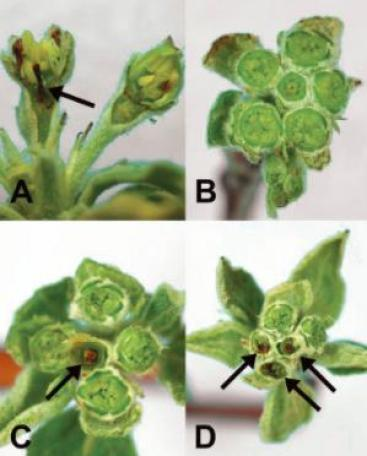 Figure 1. (A) Vertical section of apple buds, where the left flower is killed. (B) Six live flowers from apple (C) King bloom pistil killed in apple bud (D) King bloom and two side blooms killed in apple bud (Photo: HJ Larsen, Utah State University)