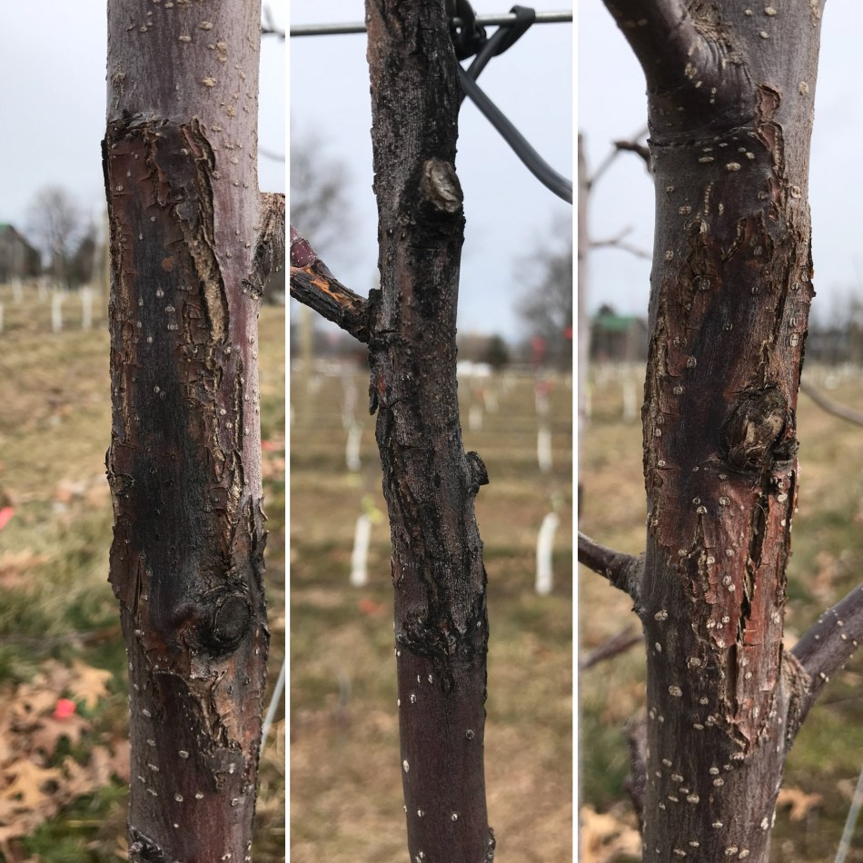 Dark, cracked cankers on trunk of apple tree caused by fire blight