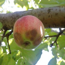 Figure 4. Bitter rot on apple