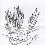 Digging rhizome