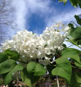 Lilac 'Angel White'