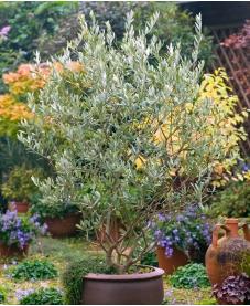 Fruitless Olive