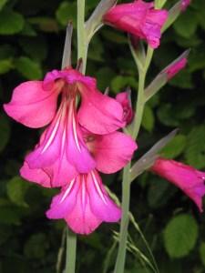 Gladiolus byzanthus By Meneerke bloem