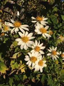 Daisy Tree Blossoms