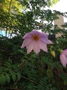 Traa Dahlia Blossom