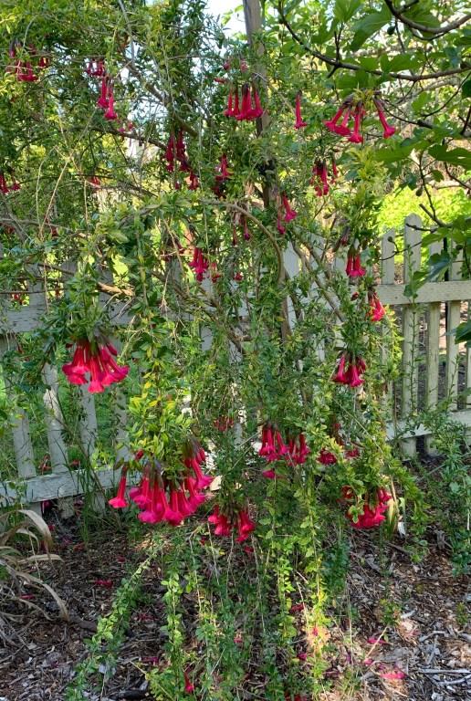 Chilean shrub