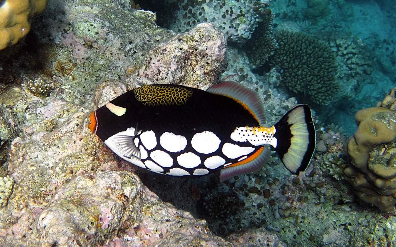 La baliste clown, un des plus beaux poissons aux Maldives