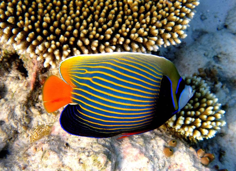 Le poissons ange lors du snorkeling aux maldives