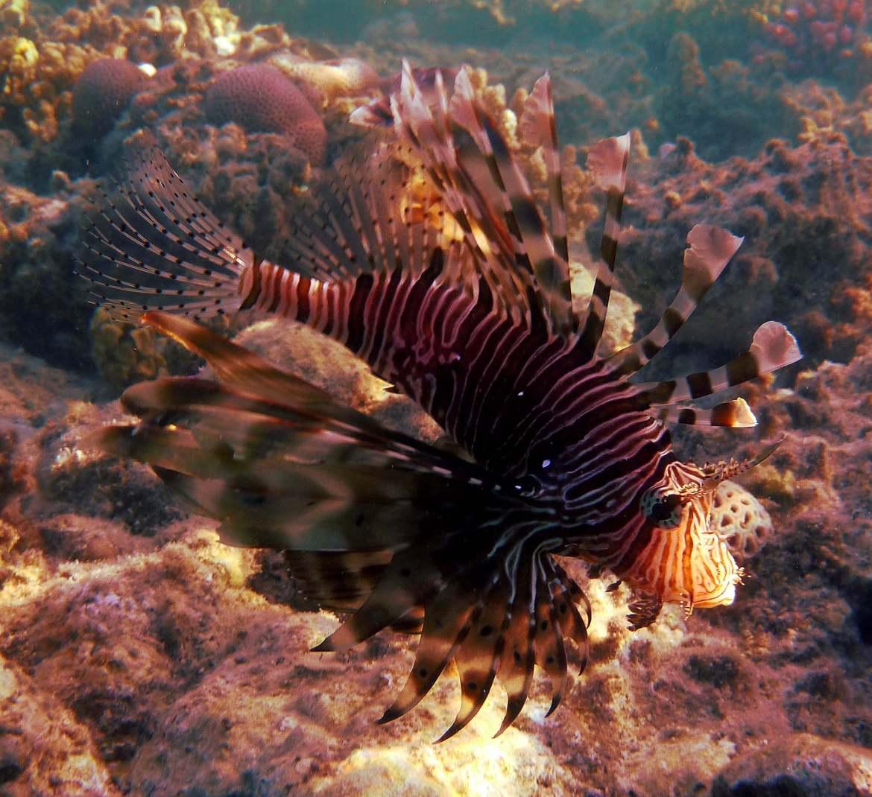 Magnifique mais dangereux le poisson lion
