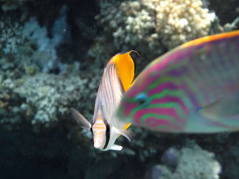 Girelle et poissons papillon en snorkeling à Vakarufalhi Island Maldives