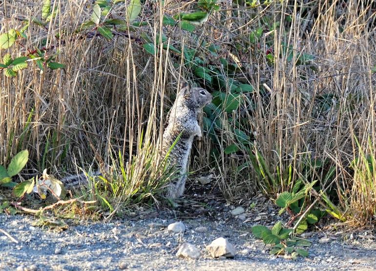 Ecureuil à Fort Bragg en Californie