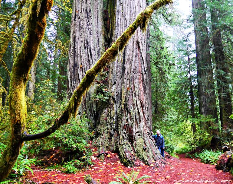 Séquoias géants de Redwood National Park en Californie
