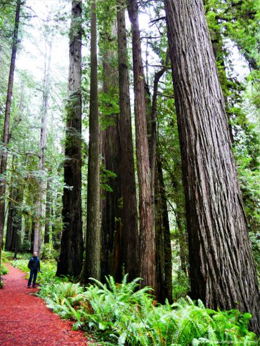 Road trip en Californie du Nord Séquoias géants Redwood National Park Californie USA blog voyage suisse cosy On holidays again