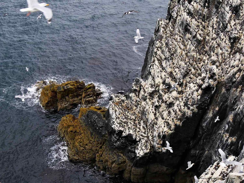 Falaise avec les pingouins torda sur l'Ile de May en Mer du Nord en Ecosse