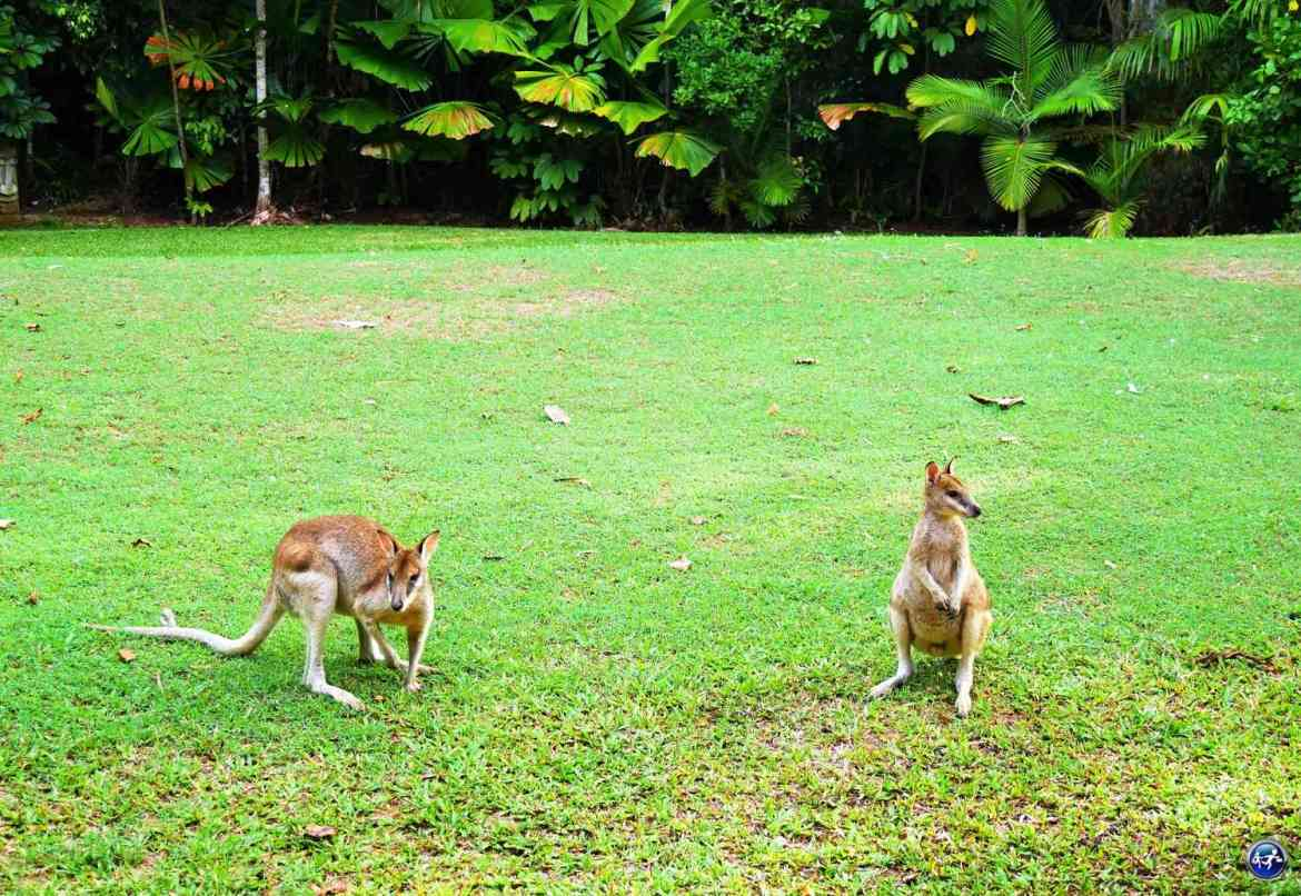 wallabies hibiscus lodge mission beach queensland australie blog voyage suisse cosy