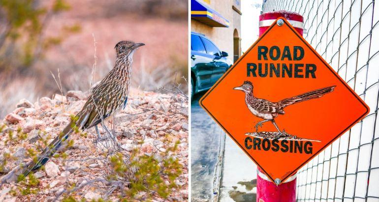 Un road runner oiseau typique de l'Ouest américain
