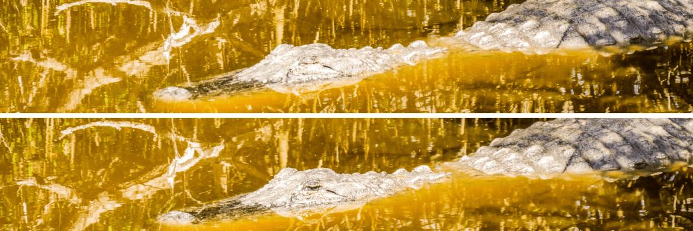 Alligator dans les Everglades en Floride