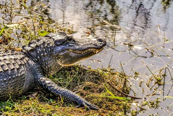 Alligator des Everglades