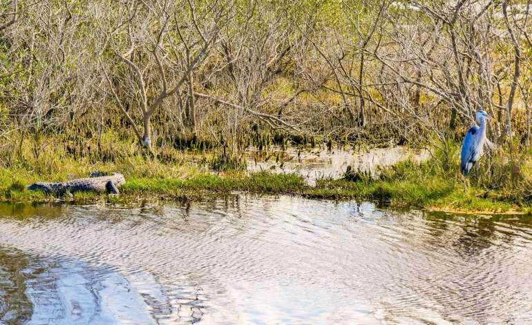 Alligator et oiseau dans les Everglades