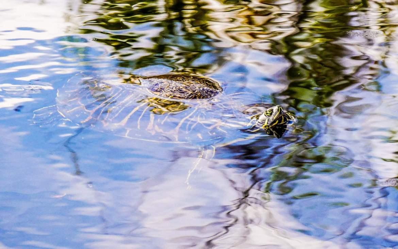 Tortue dans les Everglades