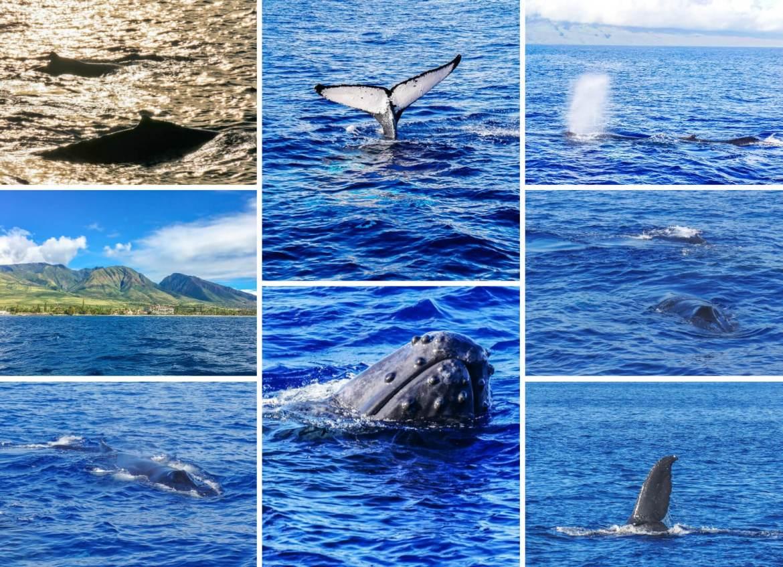 Baleines à bosse à Maui Hawaii
