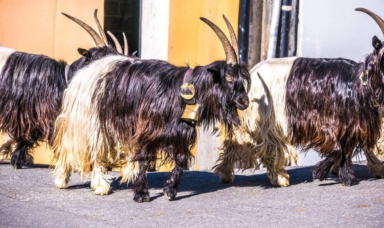 Parade des chèvres à col noir Zermatt