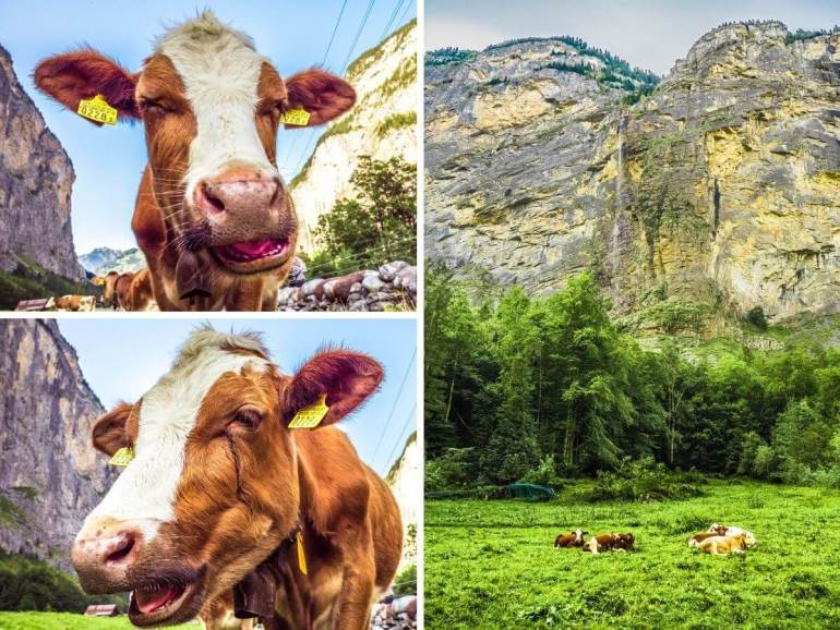 Vaches Lauterbrunnen randonnée