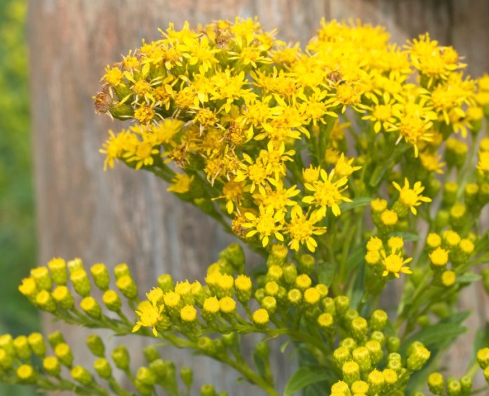 'Seaside'-goldenrod