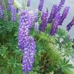 6月前半、札幌でよく見かける花