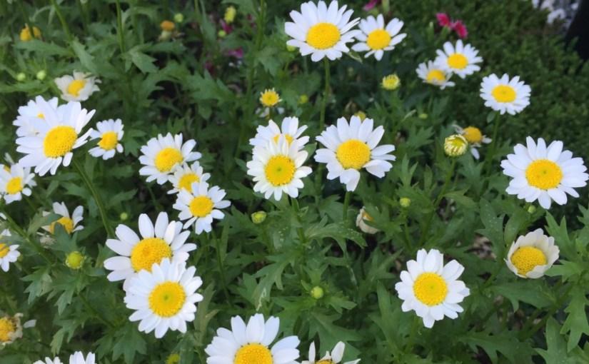 7月中旬、札幌で見かける花