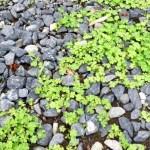 6月上旬、札幌で見かけた植物 2017