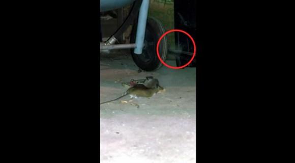 ネズミの死後、魂が抜ける瞬間の動画がアップされる