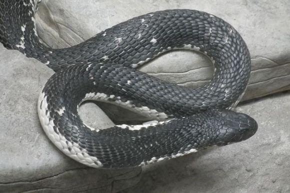 頭を切り落としたヘビに20分後に噛まれてシェフが死亡する事件が発生