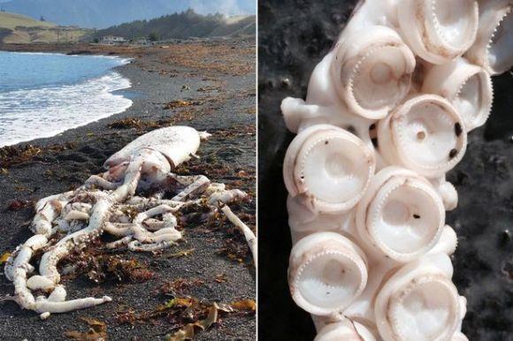 MAIN-Giant-Squid