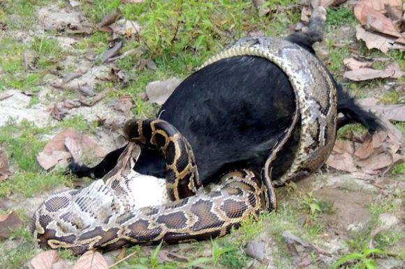Python-eats-goat