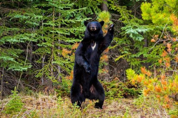 PAY-American-black-bear-pulls-off-the-famous-John-Travolta-dance-move1