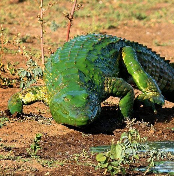 PAY-croc2