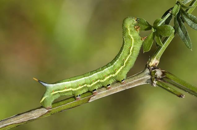 Macroglossum stellatarum caterpillar