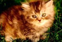 Photo of Викторина про кошек с ответами и картинками!
