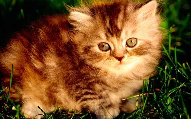 Викторина про кошек