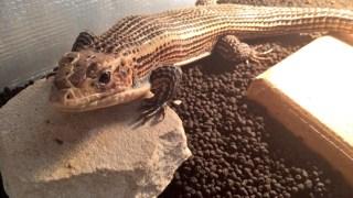 【Q&A】爬虫類を飼いたいけど親御さんがダメだと反対する!?