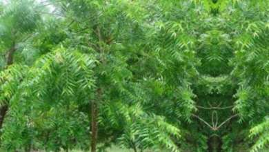 Treatment Through Neem