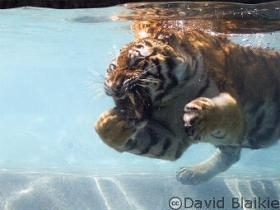 Tiger-snacking-underwater