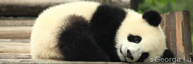 gentler Panda sleeps on the algorithm