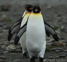 King-Penguins-at-Salisbury-Plain