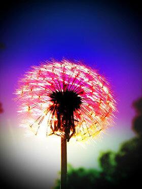 Dandelion-Fireworks