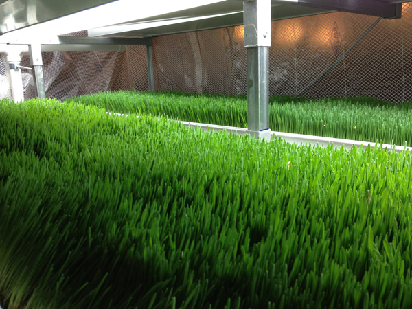 Organic Farm Cuts Feed Costs with Hydroponic Fodder